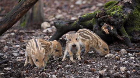 Sehr früh im Jahr bringen die Wildschweine ihren Nachwuchs auf die Welt. Wittert die Wildschweinmutter Gefahr, verteidigt sie ihre Frischlinge vehement. Das sollten vor allem Hundebesitzer beachten.