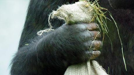 In einem Waldstück bei Grafrath wurden eine Affenhand und ein Affenfuß gefunden.