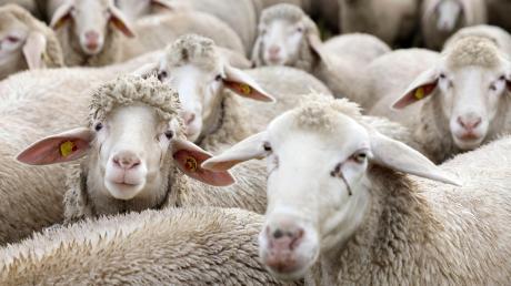 Zwei Schafe sind in Bergheim auf brutale Art getötet worden.