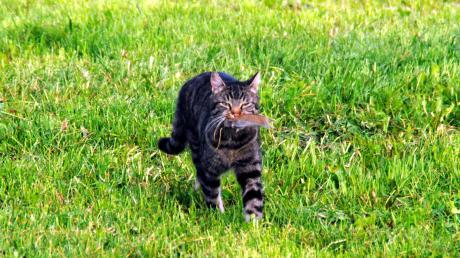 Mehrere Katzen sind in Igling von einem unbekannten getötet worden. Jetzt stellt die Polizei die Ermittlungen ein.