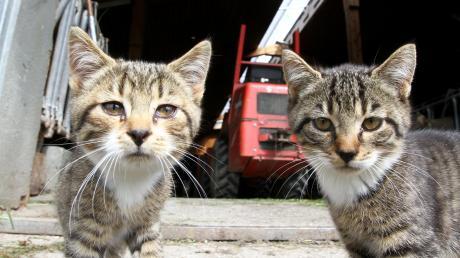 In Oberbergen gab es sehr viele frei laufende Katzen. Doris Dietz aus Weil kümmert sich seit dem Jahr 2017 um das Thema. Sie hat insgesamt 49 Katzen eingefangen und kastrieren lassen, sagt sie.