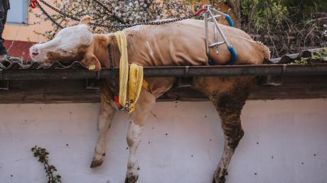 In das Dach einer Garage ist Kuh Moni am Samstag in Reichling eingebrochen. Der Fall findet bundesweit Beachtung.