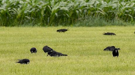 Schwärme von Saatkrähen machen den Landwirten im nördlichen Landkreis das Leben schwer. In Obermeitingen beispielsweise leidet aber auch die Bevölkerung unter den Krähen.