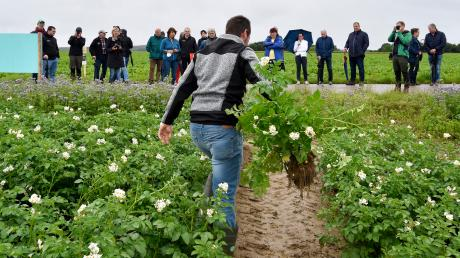 Christoph Schamberger holt eine Kartoffelpflanze von seinem Feld in Egling. Seine Pflanzen haben dieses Jahr mit der Krautfäule zu kämpfen, die bei der feuchten Witterung rasch um sich greift. Einmal ausgewachsen, sollen die Kartoffeln zu Pommes verarbeitet werden.