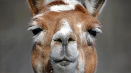 Lamas gelten als sehr eigenwillige Tiere. Zwei von ihnen sind im Landkreis Ansbach ausgebrochen - sie mussten von einem Jäger erschossen werden, weil sie nicht einzufangen waren.