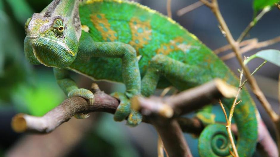 Tiere Chamaleons Sind Komplizierte Haustiere Leben Freizeit