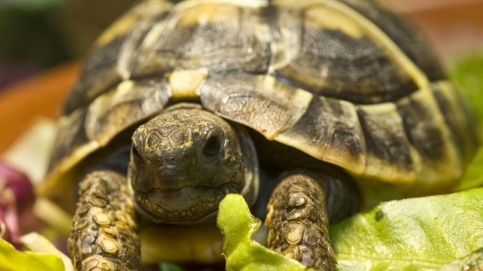 das große backen schildkröte