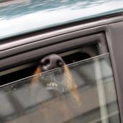 Hunde sollte man bei Hitze nicht im Auto einsperren - auch nicht mit geöffnetem Fenster.