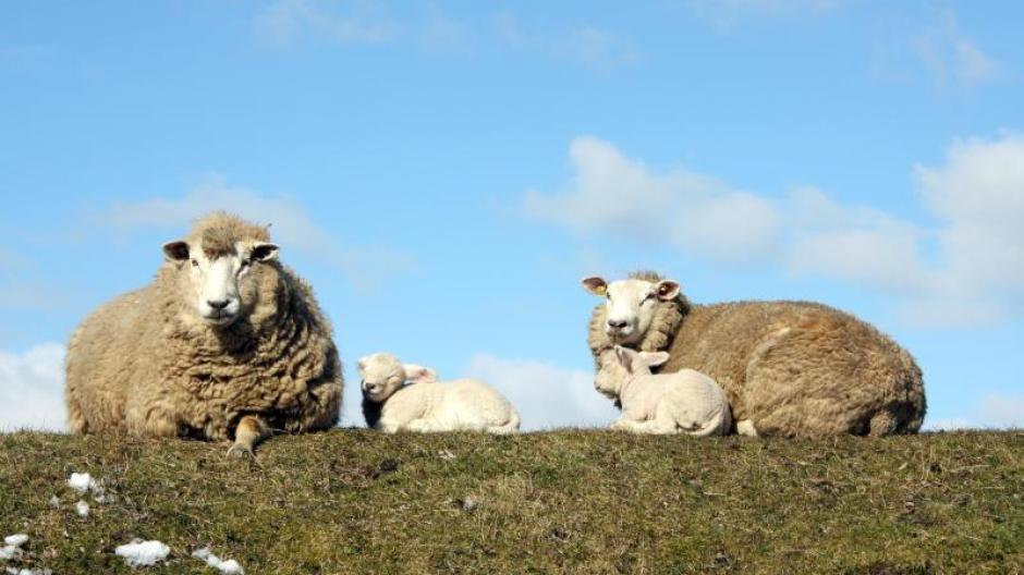 Zaun fur ziegen bauen for Schafe halten im garten