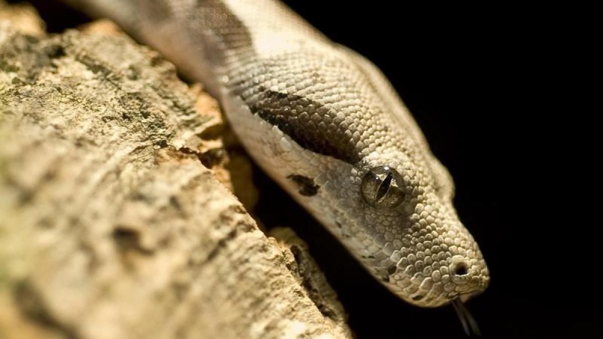 giftschlangen in deutschland 30 teils gef hrliche schlangen in verwahrloster wohnung gefunden. Black Bedroom Furniture Sets. Home Design Ideas