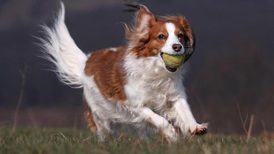 Tiere Ein Hund Als Lockvogel Das Niederlandische Kooikerhondje Augsburger Allgemeine