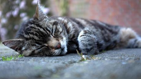 30 Katzen lebten bei einer Frau in Amberg (Unterallgäu). Weil die Tiere krank und verwahrlost gewesen sein sollen, wurde ein Haltungsverbot ausgesprochen. So ging es nun weiter. (Symbolfoto)