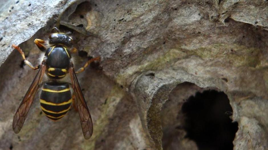 wie entfernt man ein wespennest perfect wespennest entfernen wespe im nest with wie entfernt. Black Bedroom Furniture Sets. Home Design Ideas