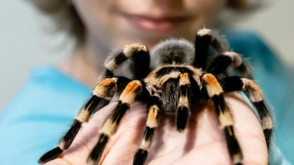 Pflegeleichter Als Gedacht Vogelspinnen Sind Genugsame Haustiere