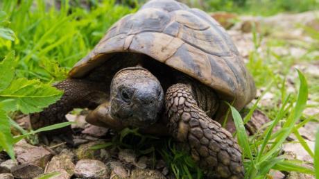 Europäische Landschildkröten buddeln und klettern gerne. Foto: Benjamin Nolte