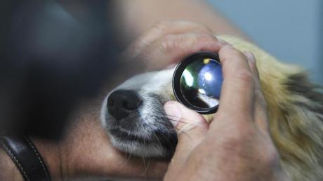 Bakterien, Staub, Fremdkörper: All das kann Hundeaugen reizen. Eine genaue Diagnose kann der Tierarzt erst nach einem Abstrich stellen. Foto: Ina Fassbender