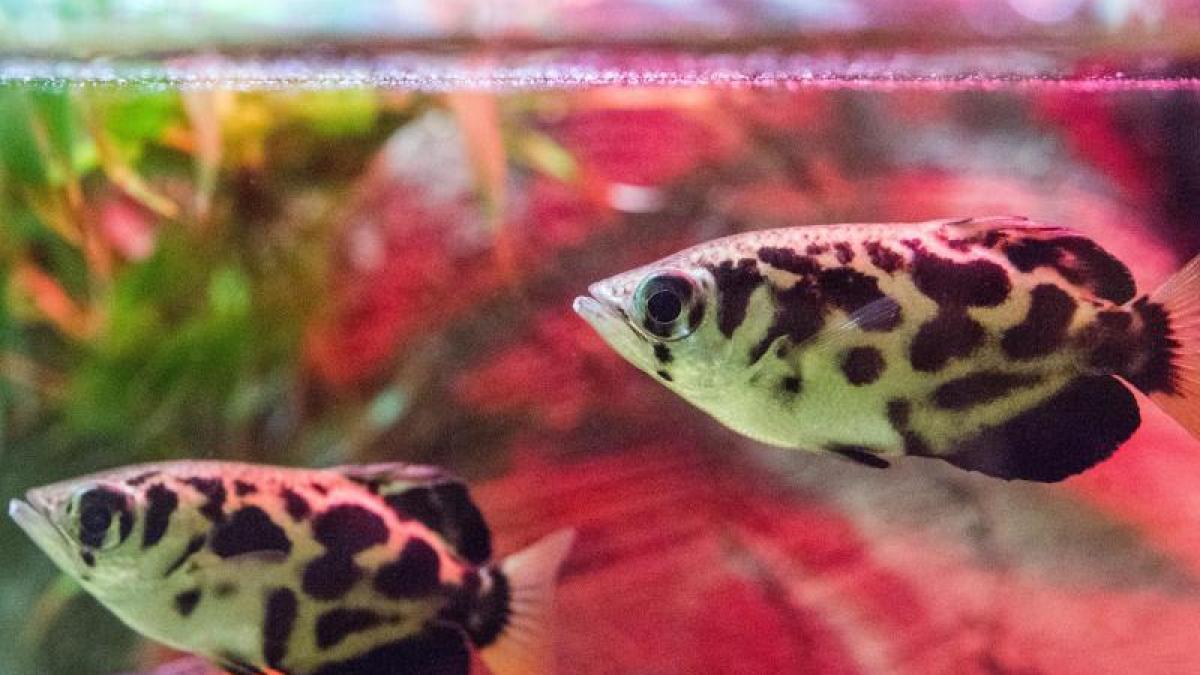 wassertemperatur zu warm f r fische so k hlen halter das aquarium ab leben freizeit. Black Bedroom Furniture Sets. Home Design Ideas