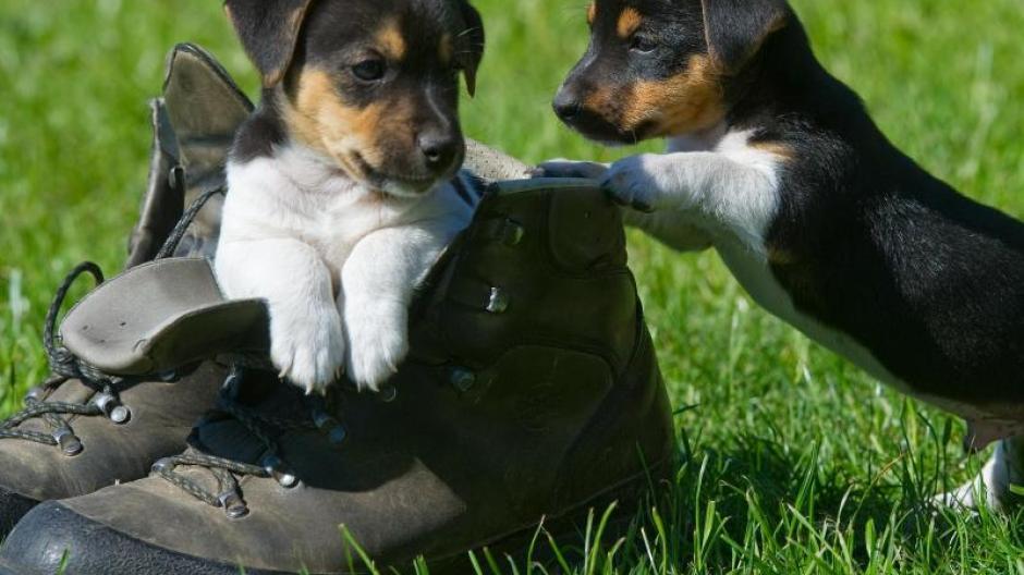 Jack-Russell-Terrierwelpen beim Spielen.