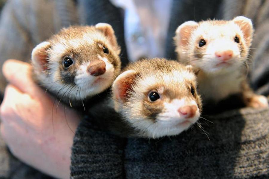 Tipps Fur Tierfreunde Frettchen Mindestens Im Doppelpack Halten Augsburger Allgemeine