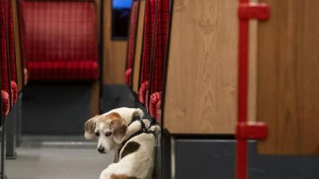 Forscher aus Finnland haben herausgefunden: Stadthunde sind ängstlicher als Landhunde.