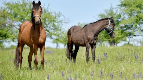 Drei Pferde zogen sich auf einem Hof in Ziemetshausen Sonntagnacht auf unbekannte Weise Schnittwunden zu.