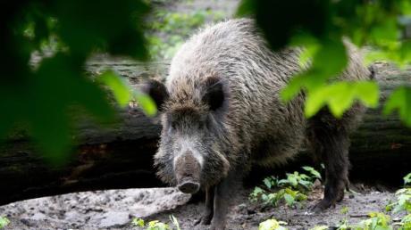 Viele Wildschweine  sind verstrahlt - selbst 35 Jahre nach Tschernobyl.