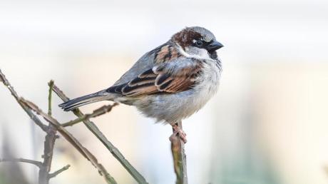 Spatzen gehören zu den Vögeln, die auch im Landkreis Dillingen noch zahlreich auftreten.
