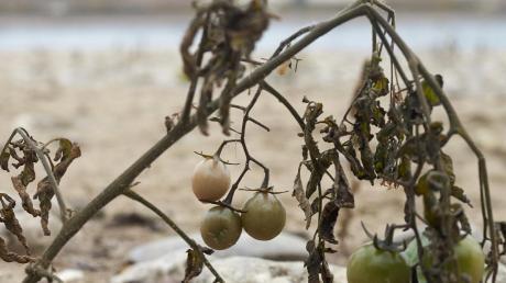 Tomaten aus dem Fluss: Niedrigwasser macht es möglich.