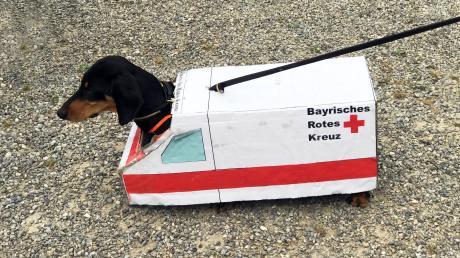 """Freie Fahrt hat Rettungshund """"Buddy"""" mit seinem Sanka in der Rettungsgasse. Er ist """"Mitglied"""" in der Rettungshundestaffel des BRK-Kreisverbandes Augsburg-Stadt."""