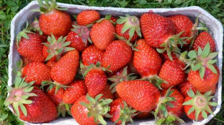 """Die Erdbeer-Saison beginnt – die """"roten Diven"""" gehören zu den liebsten Früchten der Deutschen."""