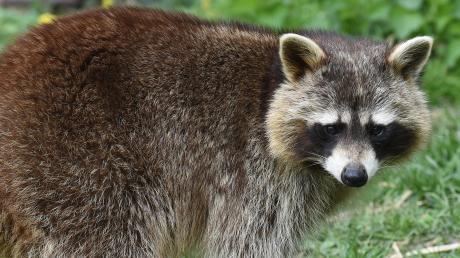 """Waschbären gelten in manchen Teilen Deutschlands als Plage. Als """"unerwünschte Spezies"""" dürfen sie von Jägern erlegt werden."""