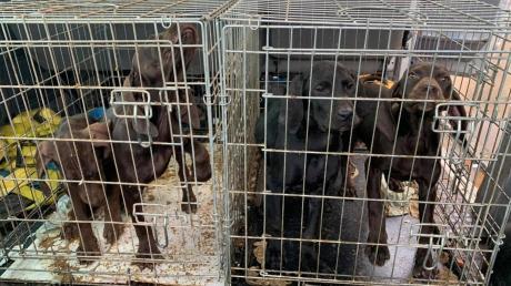Jede Woche stoppt die Polizei in Deutschland aktuell illegale Welpentransporte. Auch in Oettingen im Kreis Donau-Ries wurden Mitte März geschmuggelte Welpen beschlagnahmt und ins Tierheim nach Nördlingen gebracht.