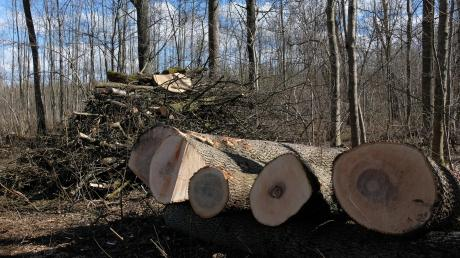 Rund 60 Festmeter Holz aus dem Gundelfinger Stadt- und Spitalwald wird jährlich versteigert. Große Nachfrage gibt es auch aus Asien. Dort ist das Holz der Esche beliebt.