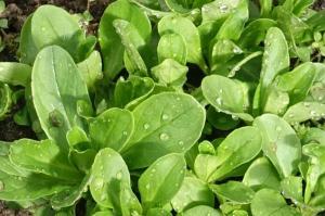 Eine Überraschung: Der Feldsalat ist klammheimlich über den Winter im Gewächshaus gewachsen.