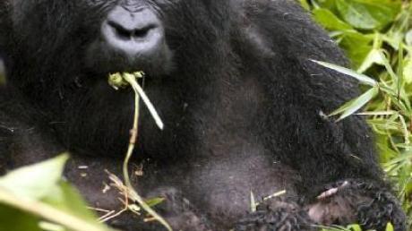 Kampagne: 2009 wird «Jahr des Gorillas»