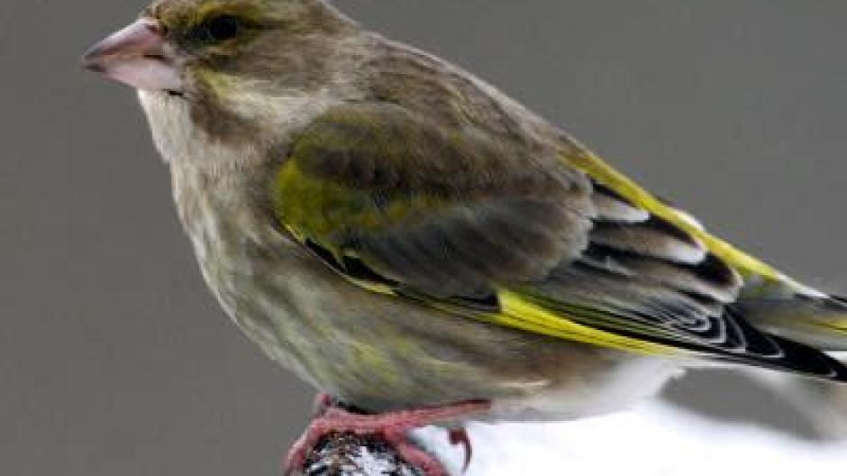 Der Tod Der Grünen Finken Parasit Befällt Vögel Leben Freizeit