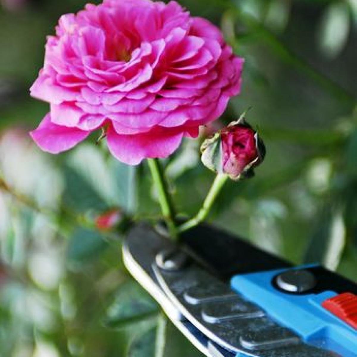 tipps für die rosenpflege: hegen und pflegen - bauen & wohnen