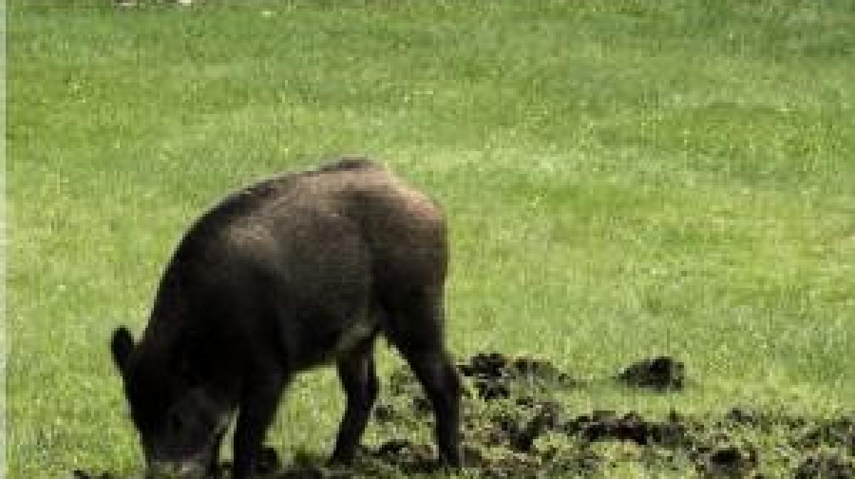 wildschweine im wohngebiet: stabile zäune für gärten - bauen