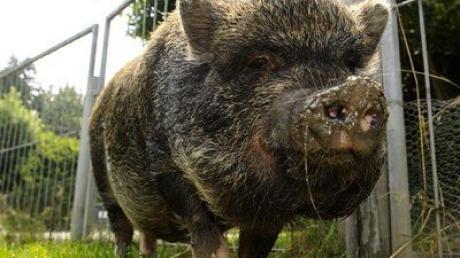 Ein Hängebauchschwein  (hier ein Symbolbild) machte am Mittwoch Polizisten in Eichstätt zu schaffen.