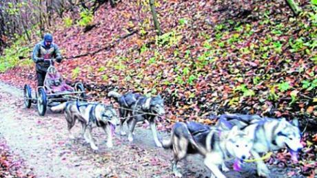 Schlittenhunde rasen um Scherneck
