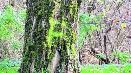 Stadt Friedberg erstellt zurzeit ein Baumkataster
