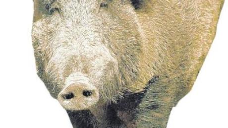 Bei einem Zusammenstoß mit einem Wildschwein ist es am Dienstag auf der A 8 bei Bubesheim im Landkreis Günzburg zu einem Totalschaden gekommen.