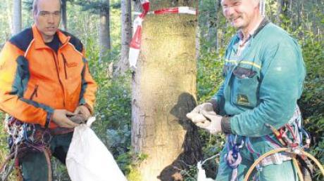 Die Zapfenpflücker Stefan Becher (Bild oben) und Fritz Wölfle (unten rechts) müssen schwindelfrei sein, um bis in die Baumkronen vorzustoßen.
