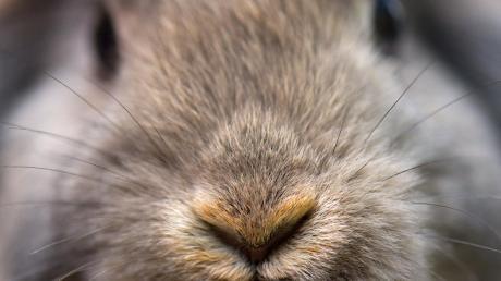 Ganz schön putzig und manchmal ganz schön teuer: Für die Pflege von drei Kaninchen im Tierheim soll die Gemeinde Eppishausen über 600 Euro zahlen.