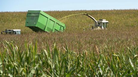 Der Maishäcksler schneidet die Pflanzen klein und spuckt das gehäckselte Material oben wieder aus. Als Maissilage nimmt Markus Hemmerle es dann für seine Rinder als Futtermittel her.