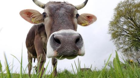 Bloß keinen Stress! Was der Bauer tun kan, um entspannte Kühe zu haben, war jetzt Thema beim Bäuerinnentag in Oberrieden.