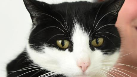 Eine schwarz-weiße Katze (Symbolbild) ist in Ettringen angeschossen worden und musste daraufhin eingeschläfert werden.