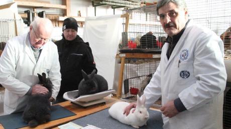 Eine strenge Jury bewertet die ausgestellten Kaninchen nach Aussehen, Haltung und Gewicht.