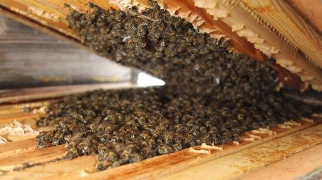 So sieht es im Winter im Innern eines Bienenstocks aus. Normalerweise bekommt man das nicht zu Gesicht, da die Behausung der Bienen nicht geöffnet wird. Für das Foto hat Imker Bernhard Müller kurz eine Ausnahme gemacht.