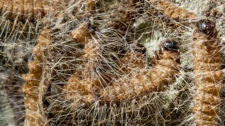 Die Brennhaare des Eichenprozessionsspinners können schwere Allergien auslösen.